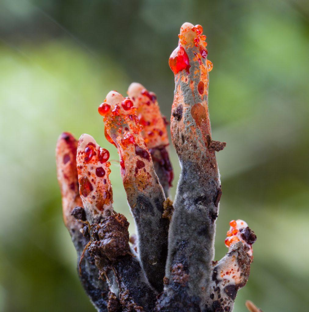 Xylaria globosa