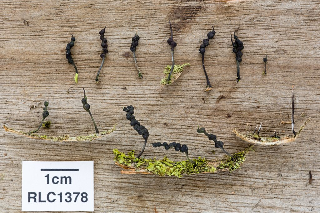 Xylaria tucumanensis, photo by Danny Newman. There are mature fruiting bodies of this tiny, elegant Xylaria: note the nearly naked perithecia on their central stalk, with the characteristic pointed apex at the tip. There is a group of young, immature fruiting bodies still coated in the pale conidial layer in the far right of the frame.