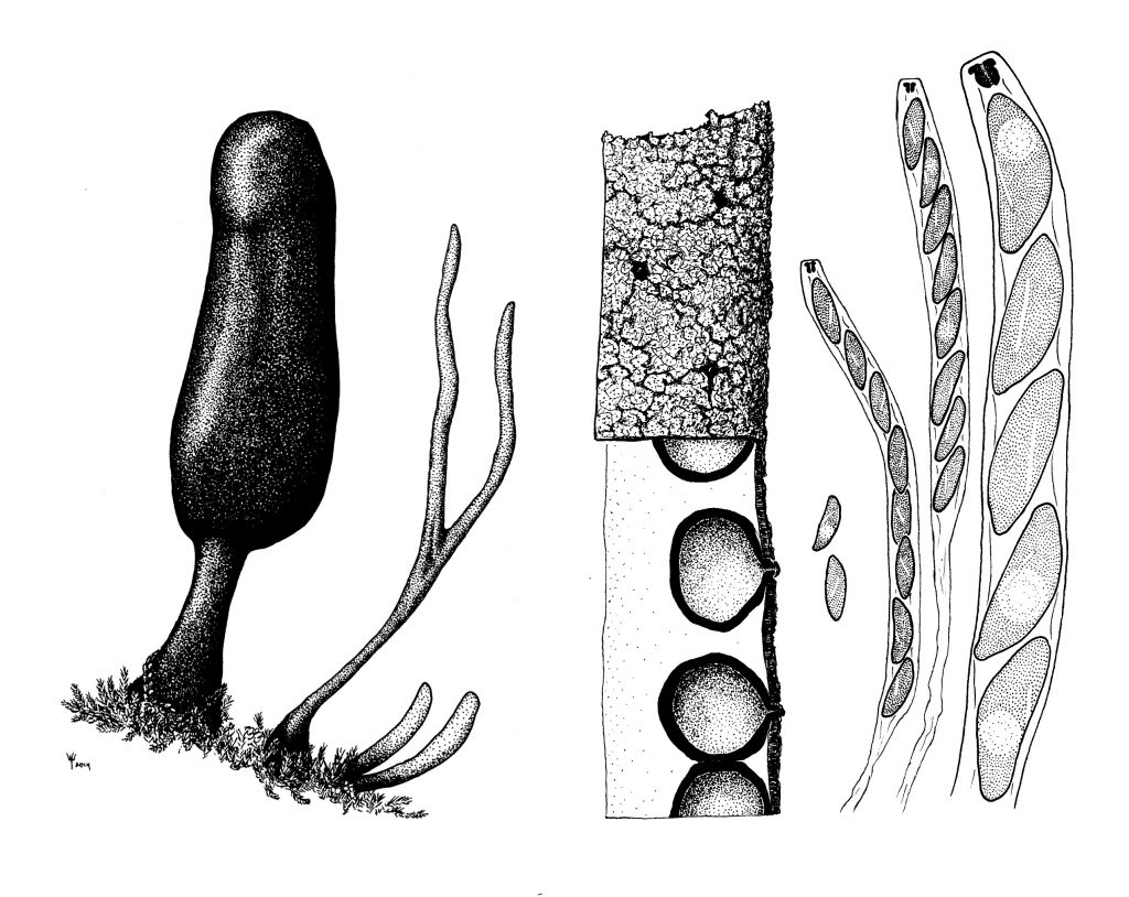 Xylaria schweinitzii, illustration by the author. To the left, a mature fruiting body and three immature fruiting bodies. Mature Xylaria schweinitzii may be quite large, more than 12 cm tall in many cases. In the center, a detail of the surface of a mature fruiting body, with a cut-away showing the round perithecia completely embedded. To the right, spores in asci, and a close up of the spores and ascus tip, showing the characteristic diagonal, short germ slit in the spores, and the inverted-hat shaped apical plug in the ascus.